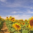 Foto Stock: Sunflowers.