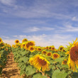 Stockfoto: Sunflowers.