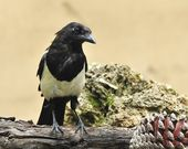 Magpie. — Stock Photo