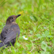 Stock Photo: Blackbird.