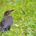 Blackbird. — Stock Photo