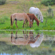 Horses grazing. - Stock Photo