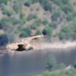 Griffon vulture on the Tagus River. - Stock Photo