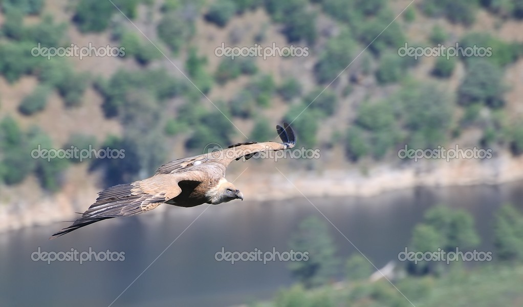 Griffon vulture on the Tagus River.  Foto de Stock   #9848233