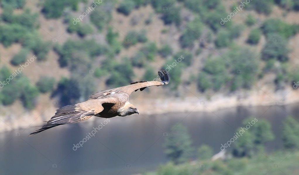Griffon vulture on the Tagus River. — Stok fotoğraf #9848233