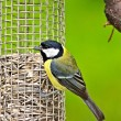 Parus major. — Stock Photo
