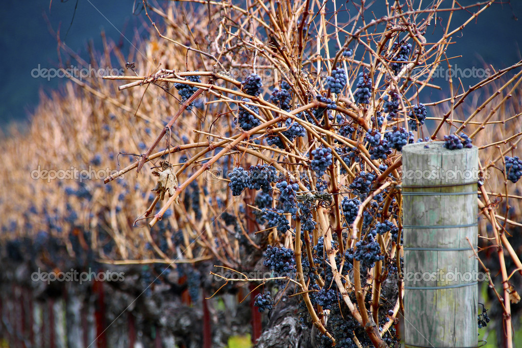 Some wine grapes near Napa Valley CA. — Stock Photo #8628254