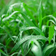 Dew in spring grass - Stock Photo