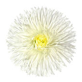 Vita prästkrage blomma isolerad på vit — Stockfoto