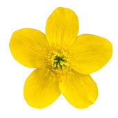 Marsh Marigold Yellow Flower Isolated on White — Stock Photo