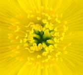 Macro of Yellow Marsh Marigold Flower Center — Stock Photo