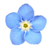 Forget-me-not Blue Flower Isolated on White — Foto Stock