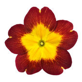 Red Primrose Flower with Yellow Center Isolated on White — Stock Photo
