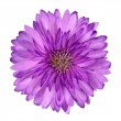 Cornflower like Pink Purple Flower Isolated — Stock Photo #8089005