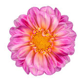 Pink White Dahlia Flower with Yellow Center Isolated — Stock Photo