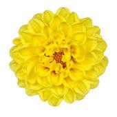 大丽花黄色花瓣上白色隔离 — 图库照片