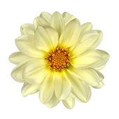White Dahlia Flower Yellow Center Isolated — Stock Photo