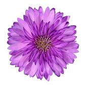 Cornflower like Pink Purple Flower Isolated — Стоковое фото