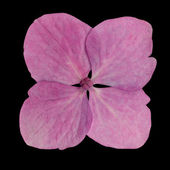 Single Pink Hydrangea Flower Isolated on Black — Стоковое фото