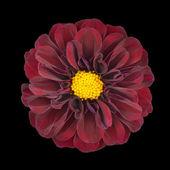 Flor de dalia rojo con centro amarillo aislado — Foto de Stock