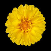 Yellow Dahlia Flower with Yellow Center Isolated — Stock Photo