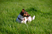 Jack Russell Terrier Standing in the grass field — Stock Photo