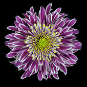 Purple Chrysanthemum Flower Isolated on White — Stock Photo