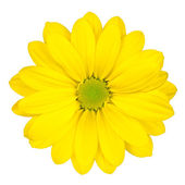 Yellow Daisy Flower with Green Center Isolated — Stock Photo