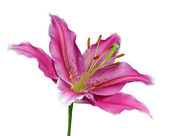 Pink Lily Flower on a Green Stick Isolated — Stock Photo