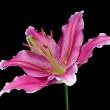 Blossoming Pink Lily Flower Isolated on Black — Stock Photo #8722261