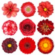 Selection of Red Flowers Isolated on White — Stock Photo #8840264
