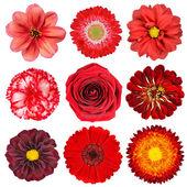 Urval av röda blommor isolerad på vit — Stockfoto