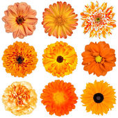 Selection of Orange Flowers Isolated on White — Stock Photo