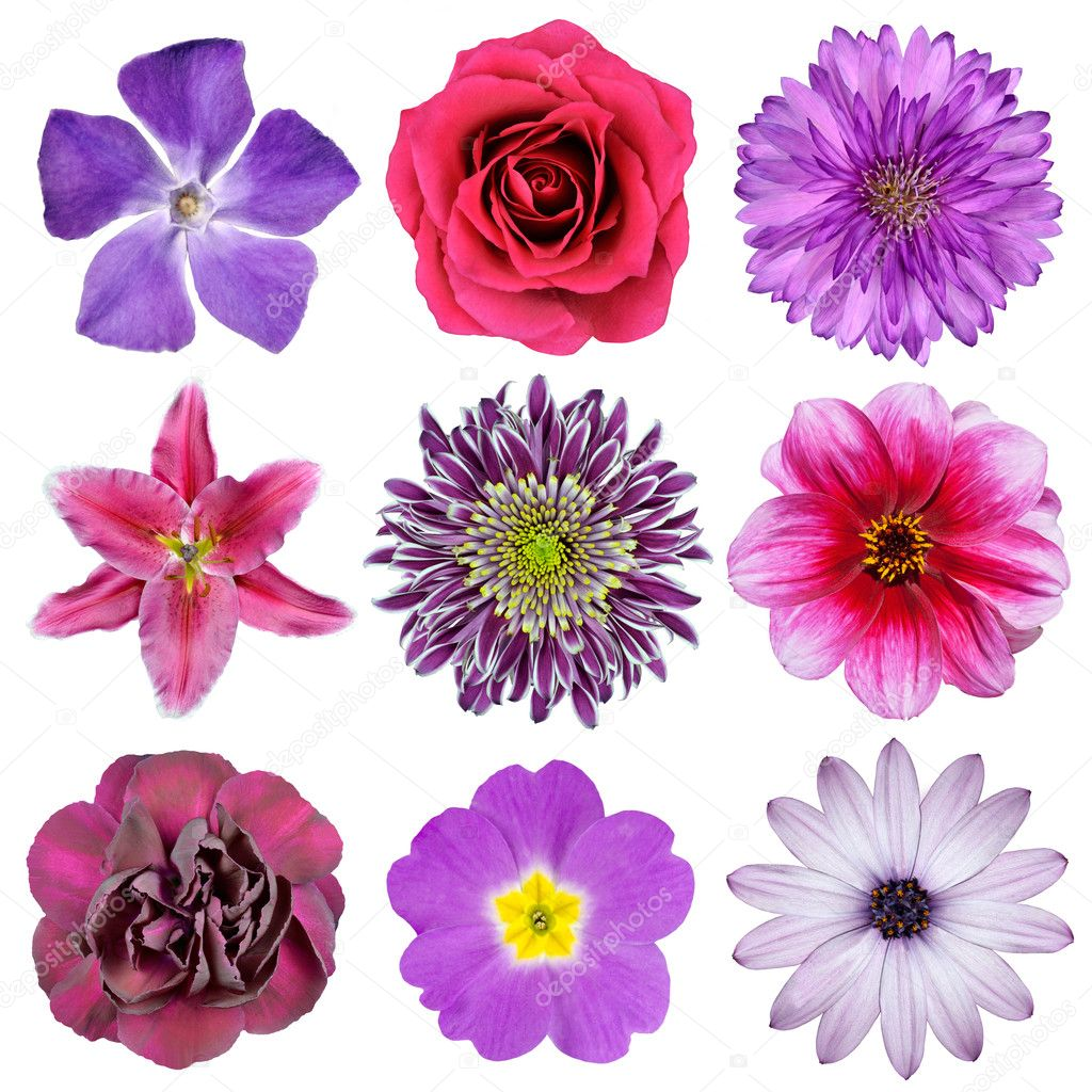 Various Pink, Purple, Red Flowers Isolated on White Background. Selection of Nine Periwinkle, Rose, CornFlower, Lily, Daisy, Chrysanthemum, Dahlia, Carnation, P — Stock Photo #8840272