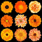 Selection of Various Orange Flowers Isolated on Black — Stock Photo