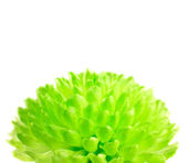 Lime Green Pom Pom Flower Isolated on White — Stock Photo