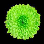 Lime Green Chrysanthemum Flower Isolated on Black — Stock Photo
