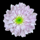 Pink Dahlia Flower with Lime Center Isolated on Black — Stock Photo
