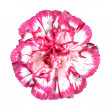 Pink Carnation Flower Isolated on White — Stock Photo #9671549