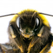 Ultra Macro of Bumblebee Head with Antennas - Stock Photo