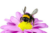 Bumblebee pollinating on Pink Daisy Flower — Stock Photo