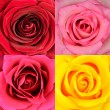 Macro of Four Rose Flowers Backgrounds - Stock Photo