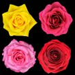 Four Perfect Rose Flower Isolated on Black - Stock Photo