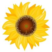 Sunflower — Stock Vector