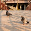 Stock Photo: Doves on bridge