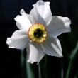Narcissus — Stock Photo #10488157