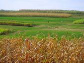 Corn in the field — Stock Photo