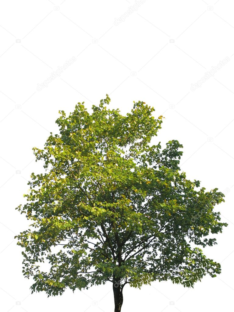 Tree  isolated on white  Stock Photo #8385047