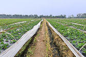 Rows of young strawberry field at autumn — Stock Photo