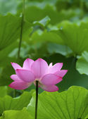 A beautiful lotus in pond — Stock Photo